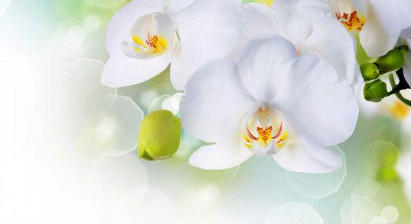 Фотообои_Орхидея